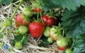 Choroby truskawek - jak sobie znimi radzić?