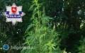 Dwumetrowe krzaki marihuany wogródku 32-latki